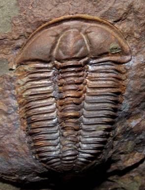 conocoryphe